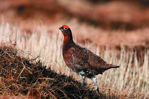 red_grouse